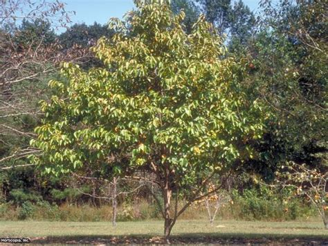 persimmon fruit tree for sale grow a persimmon tree hgtv