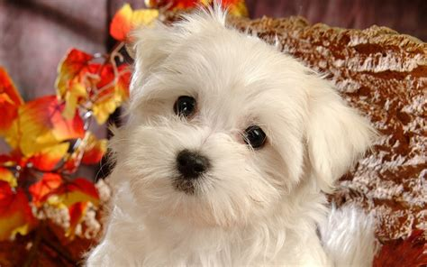 puppies that stay small white fluffy puppies breeds picture