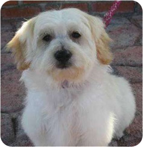 havanese maltese mix puppies casino adopted puppy poway ca havanese maltese mix