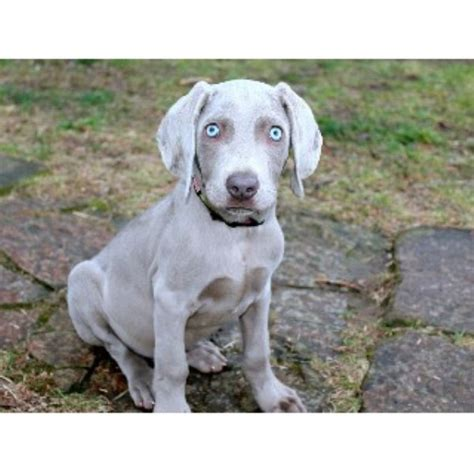 weimaraner puppies for sale in michigan weimaraner breeders in kentucky freedoglistings