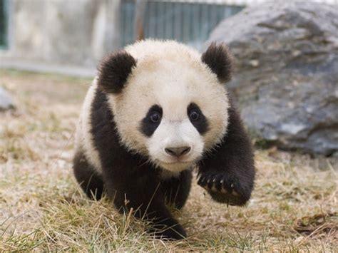 visit adorable baby cubs  chinas  panda center