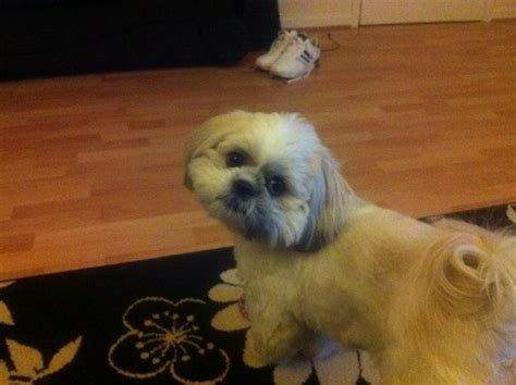 shih tzu for rehoming loving shih tzu for rehoming widnes cheshire pets4homes