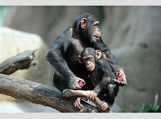 Schimpanse - Zoo am Meer Bremerhaven Seehund