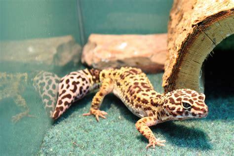 leopard gecko baby amazing wallpapers