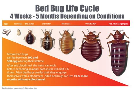 how long do bed bugs live without food bed bug life cycle