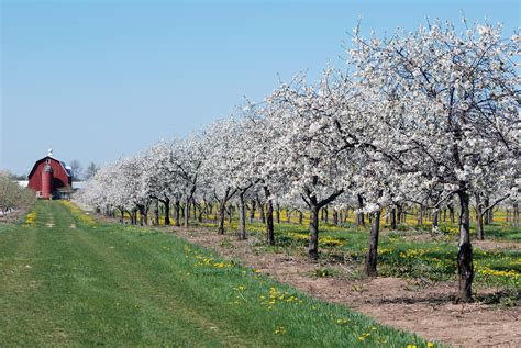 cherry tree wisconsin cherry blossoms at orchard country winery market travel wisconsin