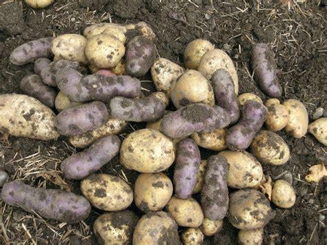 Gardening Potatoes How To Plant Grow Harvest Store Potatoes
