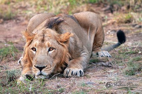 couching lion february 2012 daughter by design