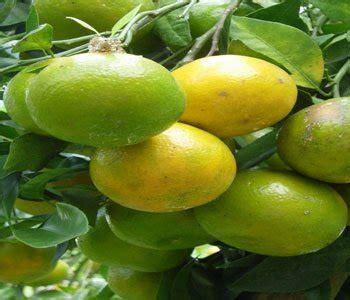 Promo Jeruk Chokun jual bibit tanaman jeruk chokun di lapak pondokjualan