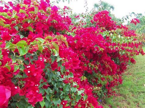 imagenes de rosas trepadoras buganvilla bougainvillea hojas rojas rosas 14 50