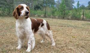 Big That Doesn T Shed by Spaniel Breeds That Dont Shed Breeds Picture