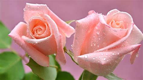 imagenes rosas en hd rosas con gotas de agua full hd en fondos 1080