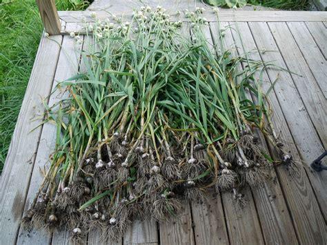 knoblauch pflanzen und ernten 4635 knoblauch ernten und lagern plantura