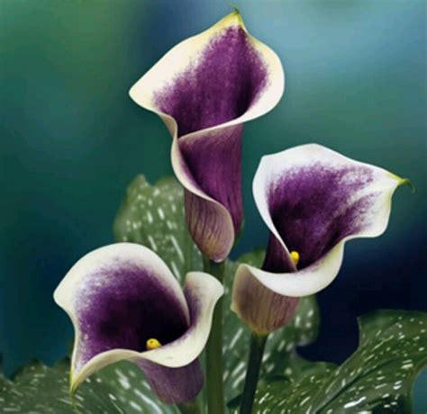 picasso mini calla lily winter flowers dec jan feb pintere