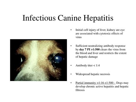 hepatitis in dogs ppt adenoviridae powerpoint presentation id 270016