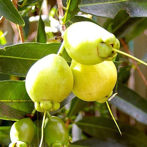 Bibit Tanaman Buah Kesemek jambu mawar tanaman buah