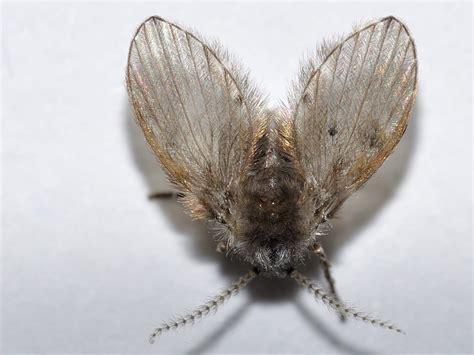 moscerini in bagno insetti simili mosche in bagno cosa sono psychodidae