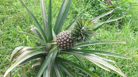 Culture D Ananas by L Ananas Culture Plantation Entretien Multiplication