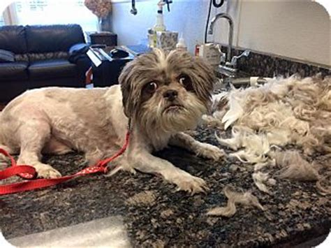 petfinder nj shih tzu oak ridge nj shih tzu meet newton a for adoption