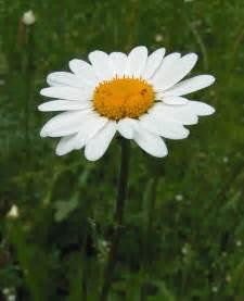 file oxeye daisy 800 jpg