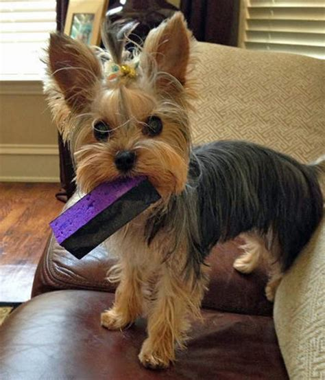 how to bathe yorkie puppy the terrier dogs daily puppy