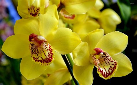 Orchid Yellow yellow orchid wallpaper www pixshark images