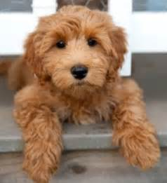 abc open how to an apricot coloured labradoodle