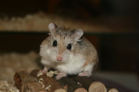 file cute roborovski hamster jpg wikipedia