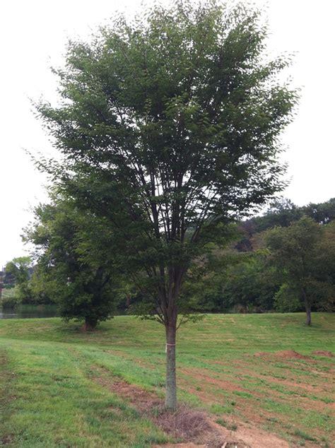 Zelkova Green Vase Tree by Green Vase Farms Nursery
