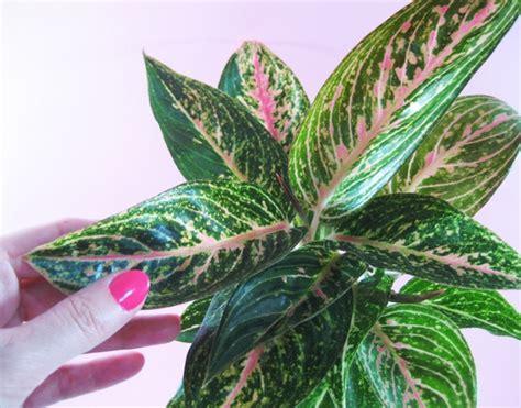 jenis tanaman hias daun terpopuler