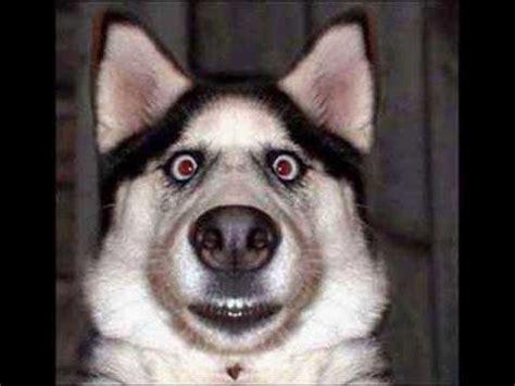 perros   risa youtube