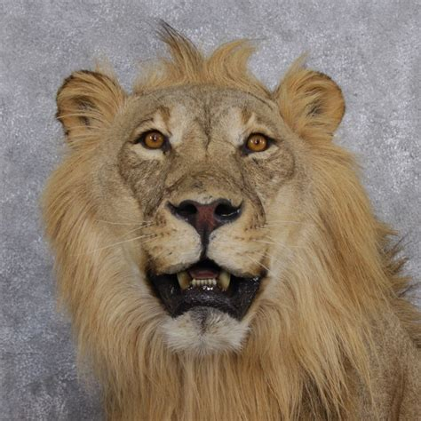 African Home Decor Catalog African Lion Mount For Sale 12505 The Taxidermy Store