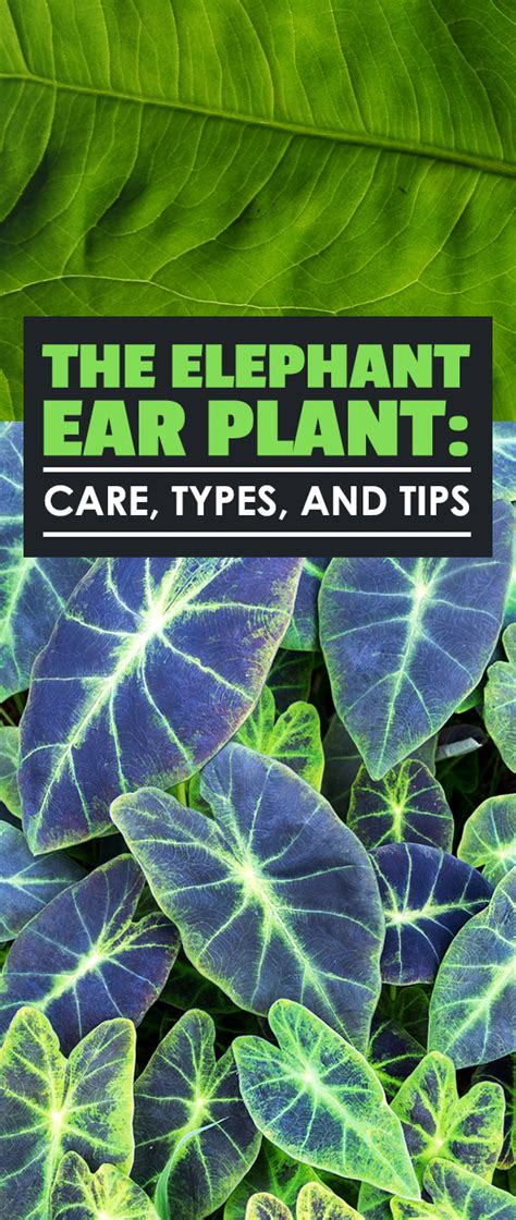elephant ear plant care planting and growing tips