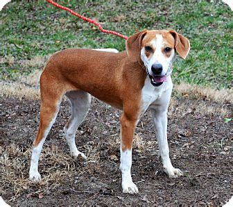 golden retriever rescue buffalo ny buffalo ny redtick coonhound labrador retriever mix meet a puppy