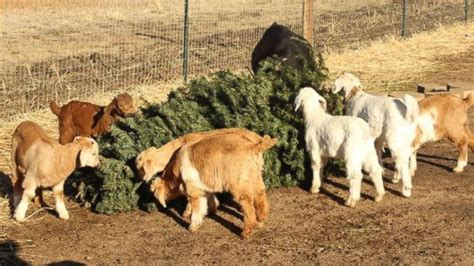 discarded christmas trees a vitamin filled treat for goats