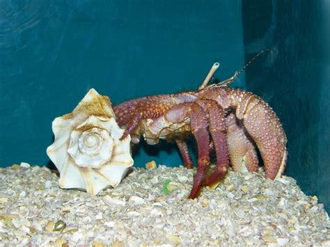 hermit crab heat l giant hermit crab www imgkid com the image kid has it