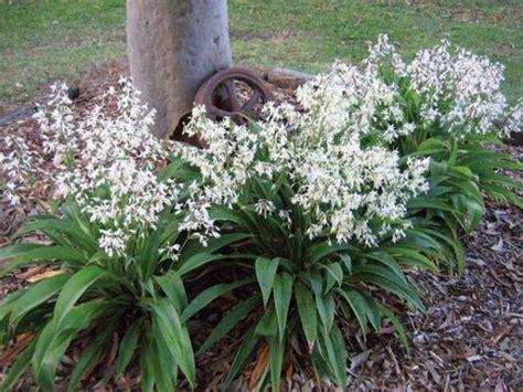 Plants Pests And Diseases - renga lily new zealand rock lily arthropodium cirratum te puna