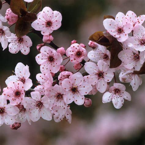 flowering plum tree fruit prunus cera thundercloud syn nigra flowering plum