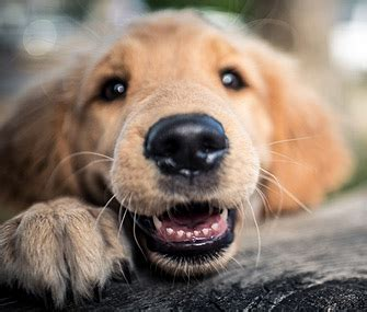 what age do puppy teeth fall out do dogs baby teeth that need to be pulled
