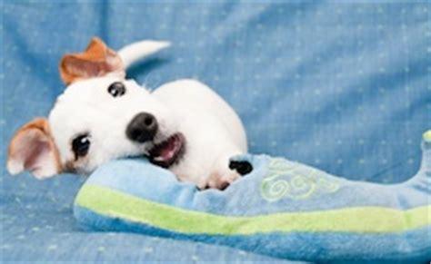 murmur in puppies grade 2 murmurs in dogs