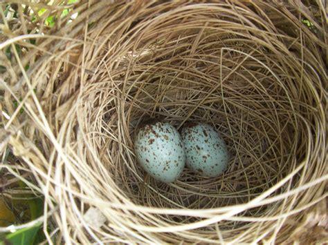 when do cardinals lay eggs cardinals