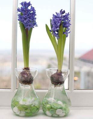 fiori bulbosi how to grow hyacinths indoors p allen smith