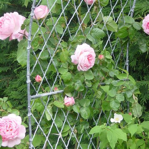 how to create a rose trellis arch how tos diy garden arches metal garden arches in wirework
