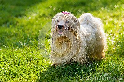 havanese water playful havanese is waiting for a water beam stock photo image 43151083