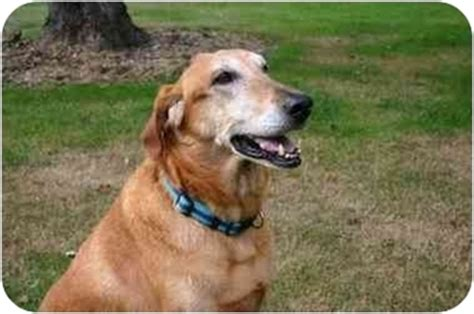 greyhound golden retriever mix fletcher adopted freeport me golden retriever greyhound mix