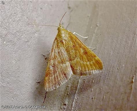 Garden Webworm by Nature Search Garden Webworm Moth Achyra Rantalis
