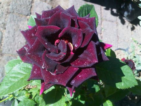 Tanaman Jadi Bunga Mawar Batik Garis Merah tanaman mawar hitam black bibitbunga