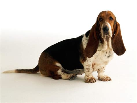 how to a hound how to bathe your basset hound grooming tutorial