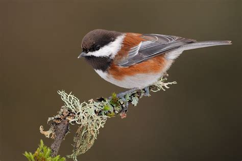 chestnut backed chickadee birds i ve seen pinterest