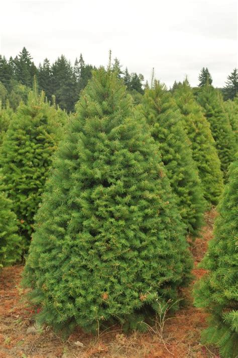 douglas fir trees information and characteristics about them